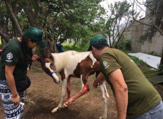 Víctimas animales del Volcán de Fuego reciben ayuda de emergencia por parte de HSI