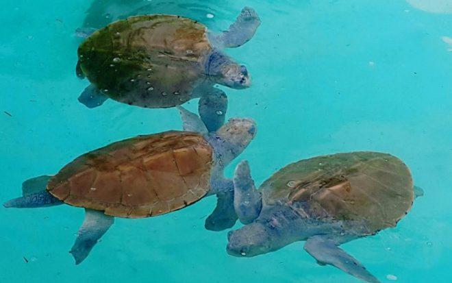Carismáticas e inofensivas, las tortugas marinas son víctimas de desmedida explotación