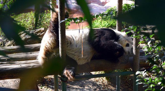 Cumple 31 años de edad la Panda Shuan Shuan