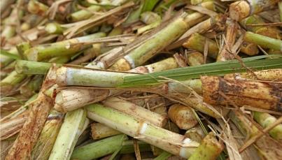 Morelos busca mejorar suelos para aumentar producción de caña