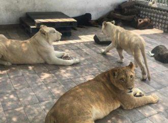 Aseguran a leones que vivían en una azotea de la Viaducto Piedad