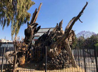 Árbol de la Noche Triste, de testigo de la historia a refugio para gatos