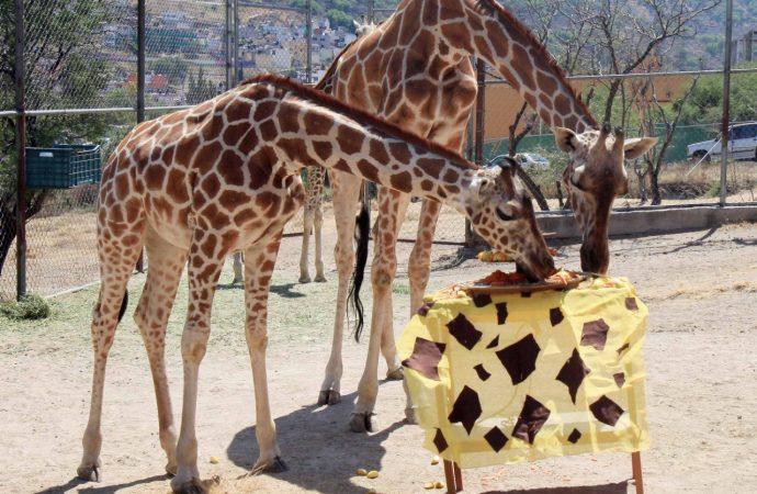 Celebran primer cumpleaños de la jirafa Guga en el Parque Ehécatl de Ecatepec