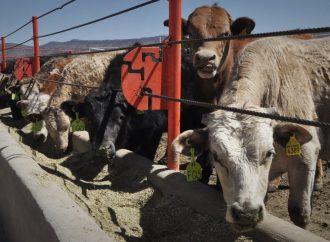 Urge vigilar que engorda de ganado se realice de manera segura sin suministrar sustancias tóxicas