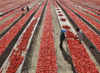 Especialistas automatizan cultivos de hortalizas de jitomate