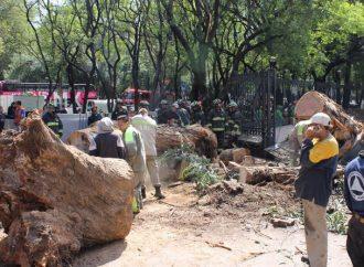 Cae árbol de más de 20 metros afuera de la estación Auditorio del Metro