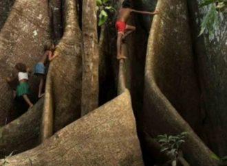 Encuentran el árbol más grande de la Amazonía