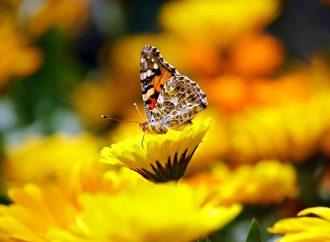 Comenzó la llegada de mariposas monarca a los santuarios del estado de México y Michoacán