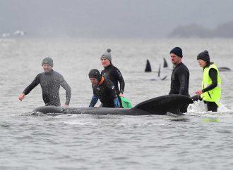 Dramático rescate de ballenas encalladas en Australia