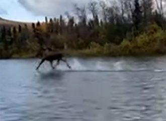 ¿Cómo lo hizo? Graban a un alce 'caminando' sobre el agua