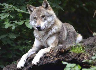 Trump elimina al lobo de lista de especies protegidas en EU