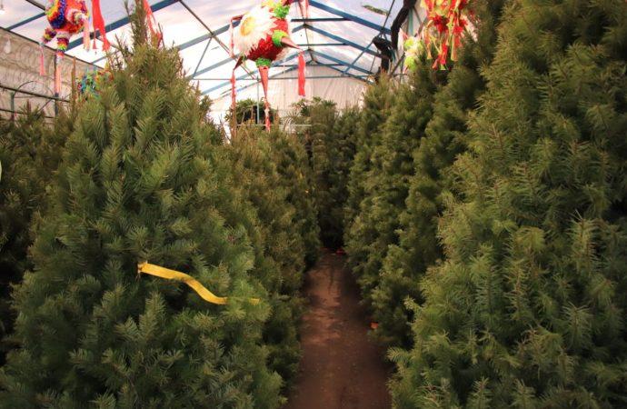 Ofertan en Xochimilco, extensa variedad de árboles navideños
