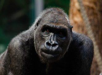 Dos gorilas dan positivo a covid-19 en zoológico de San Diego