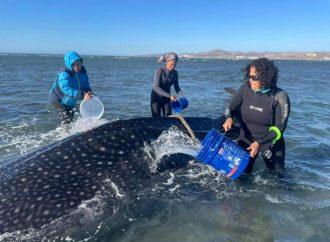 De esta forma rescatan a Tiburón Ballena varado en playa de BCS
