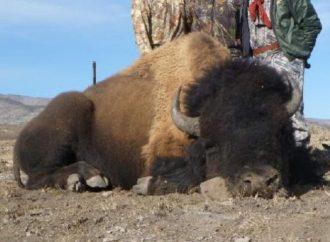 Rancho tiene 5 días para entregar permisos de caza de bisonte