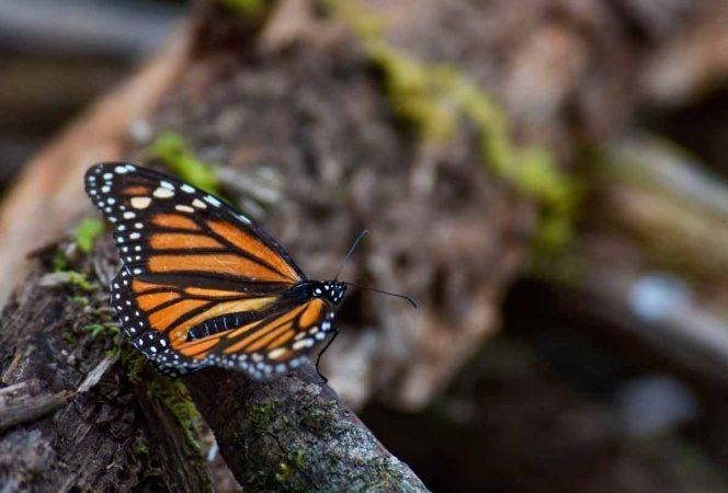 Cierran Santuarios de Mariposa Monarca frente al Covid-19