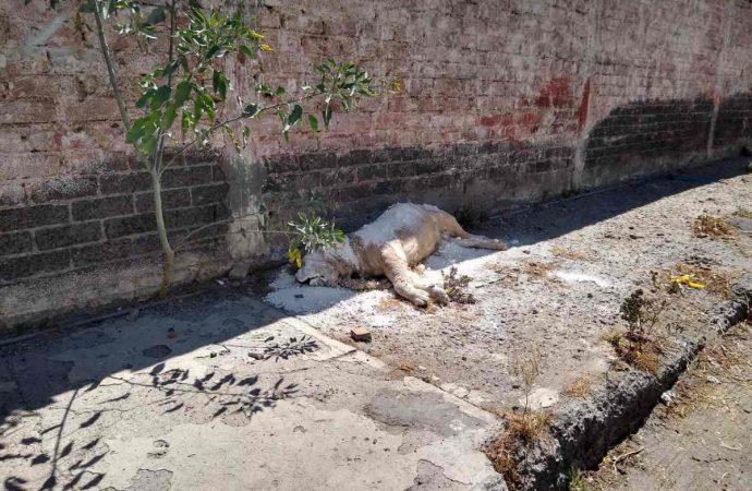 Aparece cadáver de león africano tirado en calles de Iztapalapa