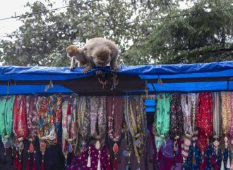 Cae banda de ladrones que utilizaba monos amaestrados