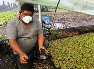Productores de Xochimilco preservan cultivo prehispánico