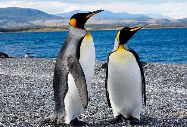 Reproducción de pingüinos rey peligra por el cambio climático