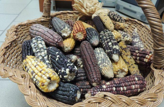 Investigadores mexicanos producen pinole vitaminado con maíz mejorado por métodos tradicionales