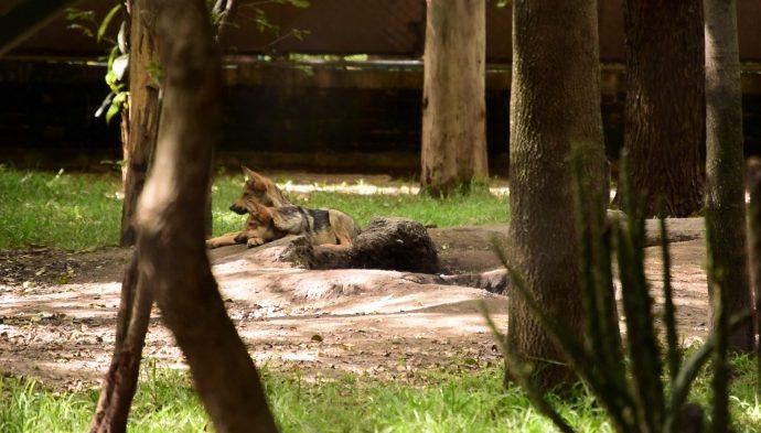 Abren visita para conocer a lobeznos del zoológico Los Coyotes