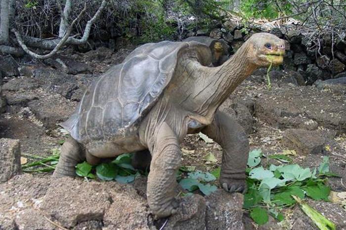 Descifran el genoma de la tortuga el Solitario George