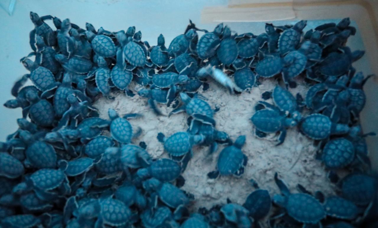 Protege más de 51 mil huevos de tortuga marina Gobierno de Solidaridad
